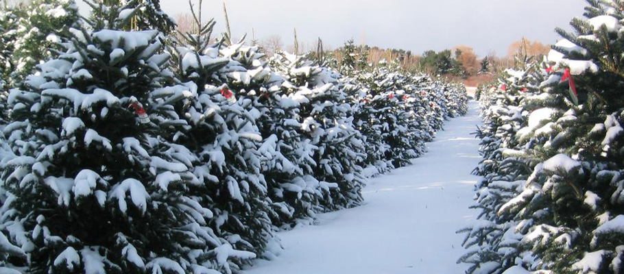 cut and choose christmas tree farm in the heart of apple hill california